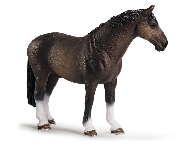 Hanoverian Stallion